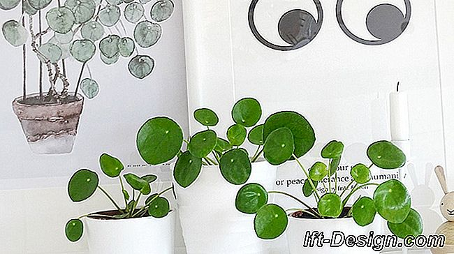 O Pilea, a planta mais design do momento: mais