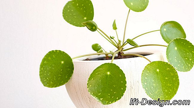 O Pilea, a planta mais design do momento: planta