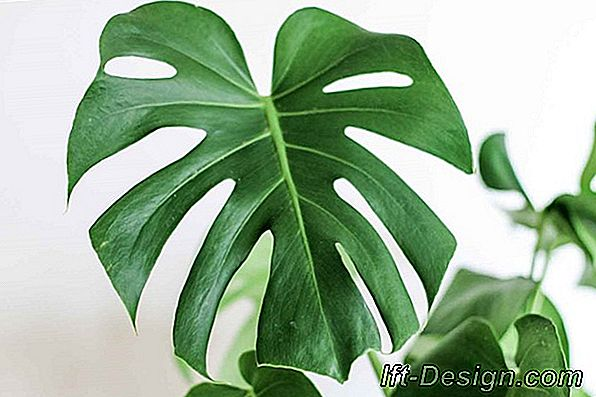 Monstera deliciosa, deco monstrs!