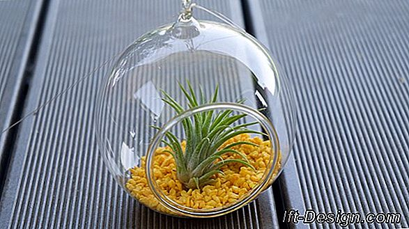 The tillandsia sau
